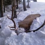 snowy-2010-montana-bull